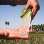 Forever Aloe Vera Drik er fremstillet udelukkende af indergelé fra håndhøstet aloe vera på Forevers egne marker